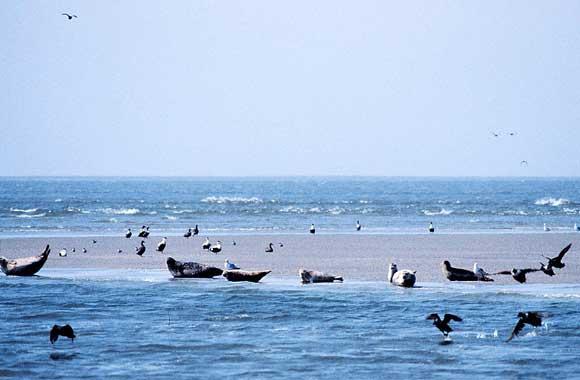 sea-lion-wadden-sea
